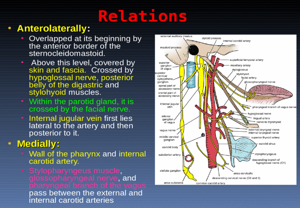 Dr. Zeenat Zaidi Arteries of the Head & Neck Common ...